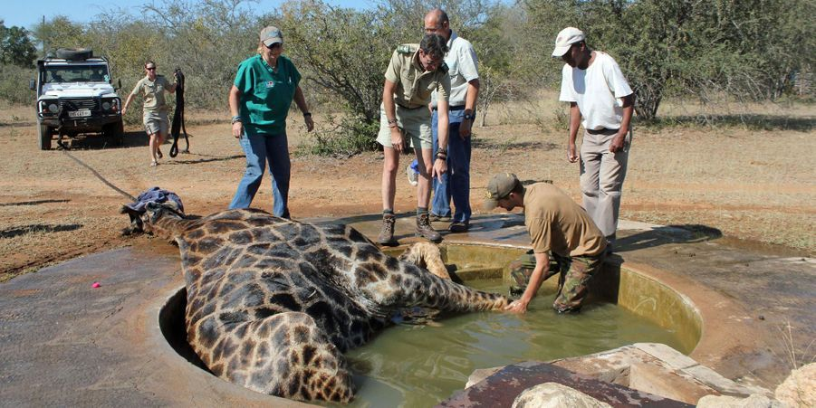Une girafe sauvée d'un puits dans lequel elle était tombée
