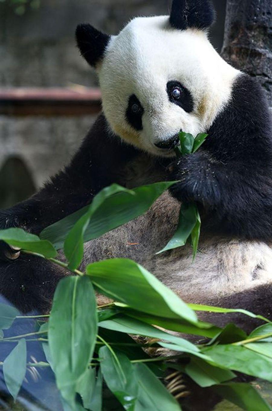 Ba Si le panda fêtera bientôt ses 35 ans