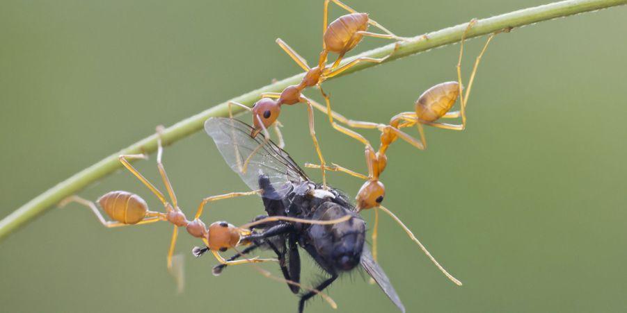 Les fourmis se battent pour le repas: une mouche