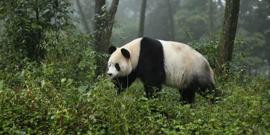 Bienvenue au centre des pandas de Bifengxia, en Chine