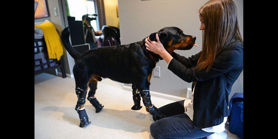 Brutus, le rottweiler aux prothèses