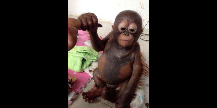 Budi le petit orang outan recueilli et soigné
