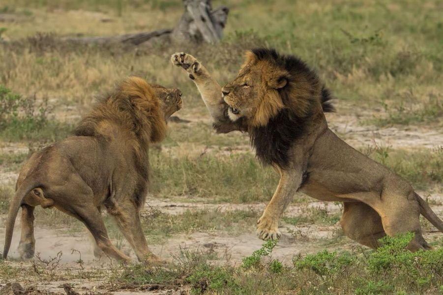 C'était Cecil le lion