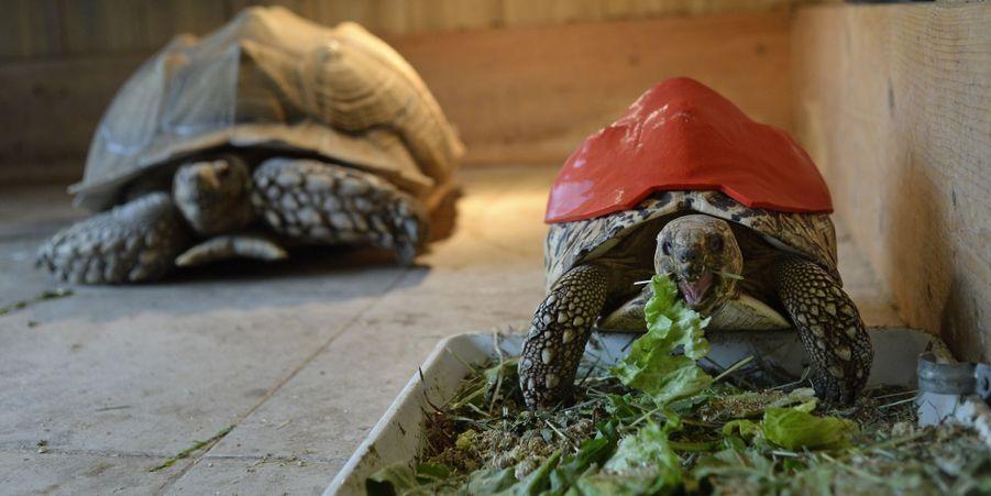 Cleopatra la tortue à la carapace 3D