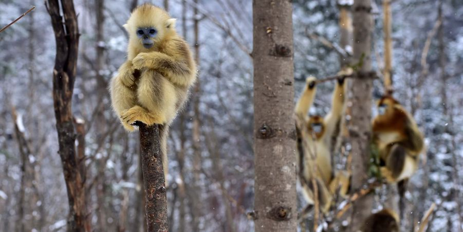 Dans l'antre des singes dorés à Shennongjia, en Chine
