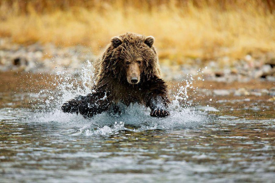 """Découvrez les ours de Paul Nicklen dans """"Ours, esprits de la nature"""""""
