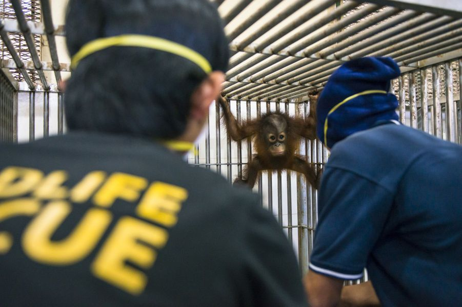 Dernier examen avant la liberté pour les orangs-outans