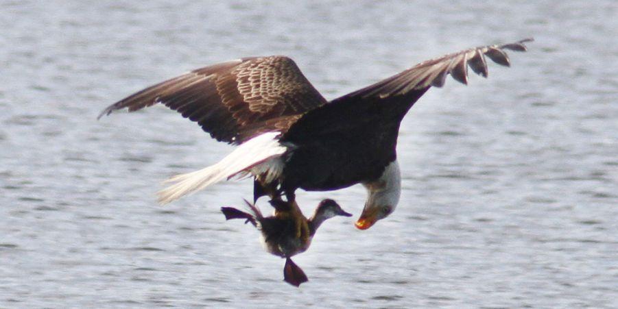 L'aigle chauve pêche le canard