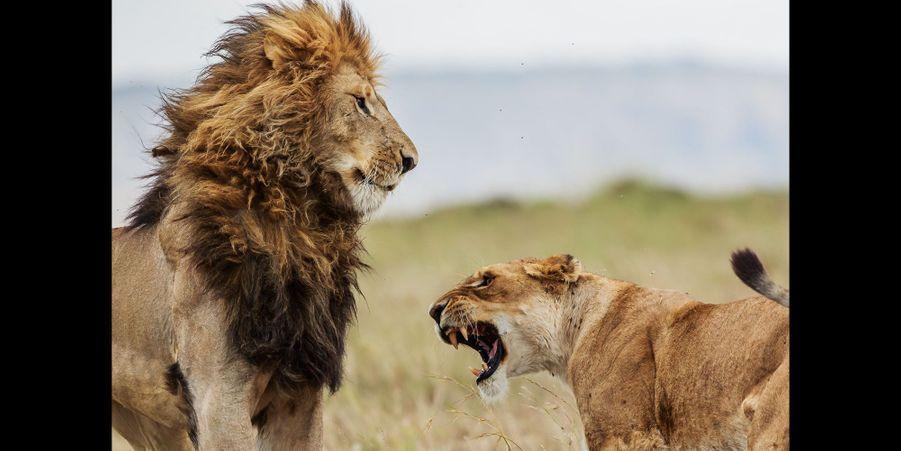Querelle amoureuse chez les lions au Kenya