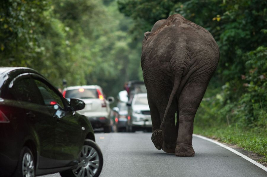 En Thaïlande, l'éléphant provoque... un embouteillage