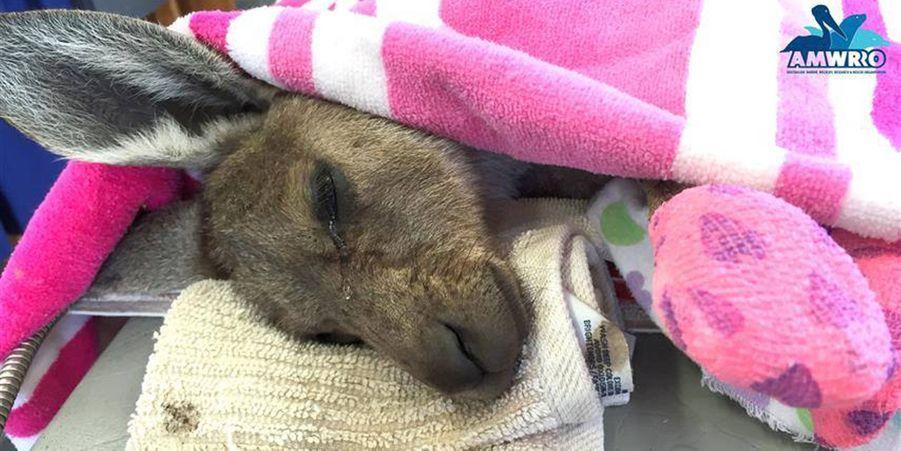 Gabby le kangourou