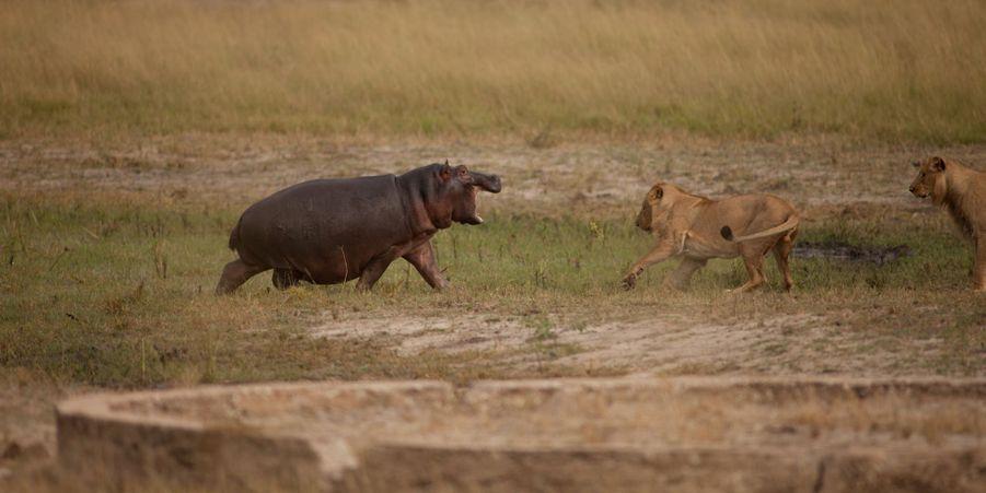 L'hippopotame a fait fuir les lions