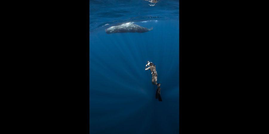 Les baleinesà bosse: Ce sont les baleineaux qui prennent l'initiative du contact avec nous, sous l'œil vigilant de leurs mères. Certains semblent encourager leurs petits à jouer. D'autres, au contraire, se montrent très protectrices. Comme ici où tout dans l'attitude de cette baleine témoigne de sa détermination à m'éloigner. Notamment l'ouverture maximale de ses nageoires pectorales. Elle a viré à 1,50m de moi et je n'ai pas insisté…Au cours de leur migration transocéanique, les baleines à bosse nagent sans discontinuer dans des eaux froides, affrontent des tempêtes et s'exposent à de nombreux dangers. Lorsqu'elles arrivent enfin dans les mers tropicales, c'est le moment du repos. Quand on plonge pour les observer à ce moment là, on doit en etre conscient et les observer avec beaucoup de douceur.