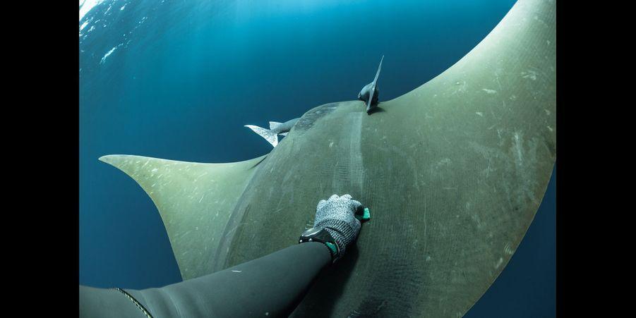 Les Raies:Au cours de l'été, ces raies passent 2 mois et demi dans les eaux de l'archipel des Açores. Les apnéistes aident les scientifiques à réaliser des biopsies pour savoir ce qu'elles mangent au cours de leur migration. Ici, je gratte le dos d'une raie mobula sortie du groupe pour récupérer du mucus et analyser son ADN.