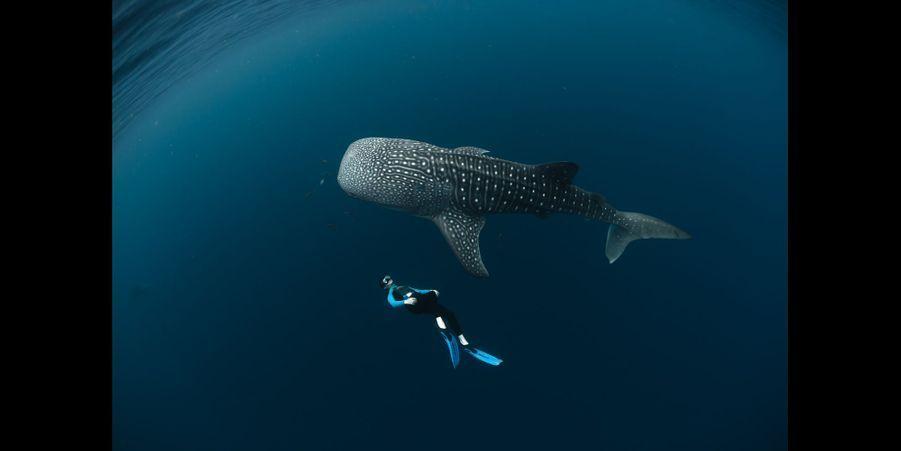 Le requin baleine:C'est le plus grand poisson du monde! Sa taille peut atteindre 18 mètres mais il ne présente aucun danger pour l'homme. Chaque requin baleine possède une robe gris bleutée unique, recouverte d'ocelles et de traits plus clairs. Tous les plongeurs qui ont la chance d'en croiser un sont invités à le photographier de chaque côté. Les images sont versées à une banque d'images et analysées grâce à un logiciel dérivé de celui de la NASA utilisé pour cartographier les constellations.