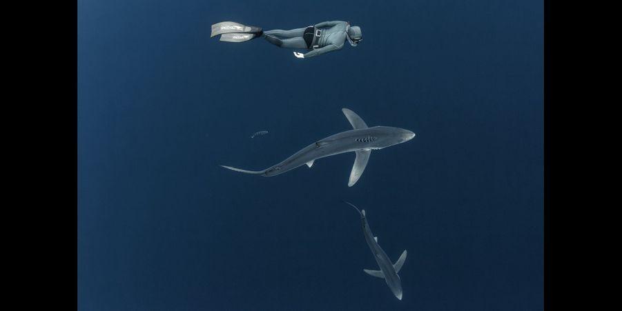 Le requin bleu:Ses grandes nageoires pectorales lui permettent d'économiser ses mouvements et de «planer» lorsqu'il est à la recherche d'une proie potentielle. C'est un animal très doux dans ses approches et il se déplace comme les apnéistes. Ou l'inverse… Fuselé comme une torpille, la couleur de sa robe le rend difficilement repérable. Vu du dessus, son dos bleu gris prend la teinte des profondeurs marines. Par en dessous, son ventre plus clair se confond avec l'eau traversée par les rayons du soleil.