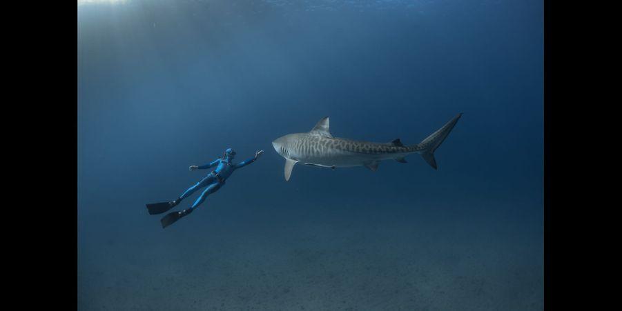 Le requin tigre:Le requin tigre est aux poissons ce que le tank est aux véhicules terrestres. C'est un animal massif et ses approches sont lentes et mesurées. Ils peuvent venir très près, jusqu'à nous toucher, comme ici, où celui ci est venu coller son nez contre mon caisson. Opportuniste vorace, charognard à ses heures, un tel face à face était impensable il y a quelques années. Une meilleure connaissance de l'animal rend désormais une telle rencontre possible. Une extrême vigilance reste toutefois de mise…