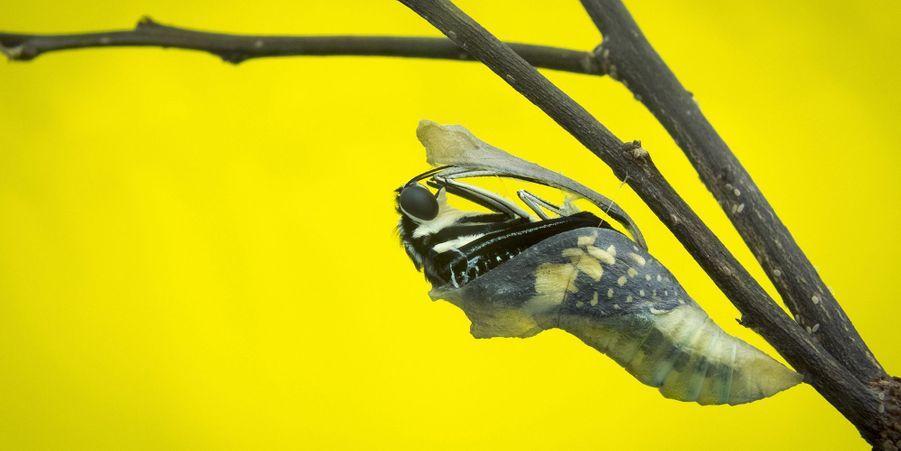 La transformation d'une chenille en papillon
