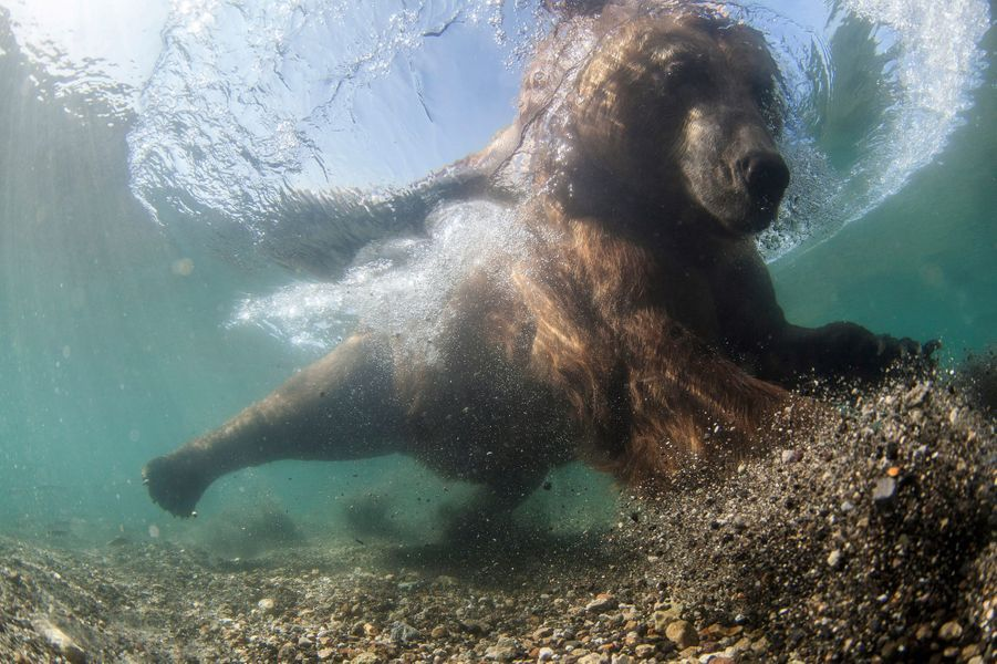 L'ours en apnée lors d'une partie de pêche en Russie