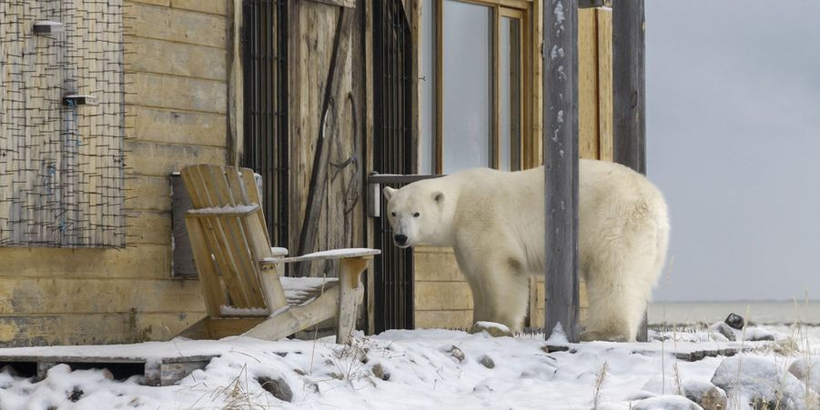 Les ours curieux ont tenté de s'inviter chez des Canadiens