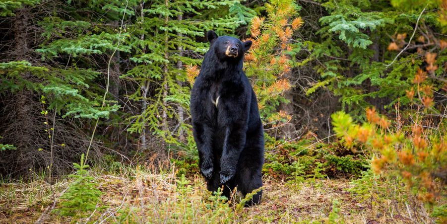 L'ours atteint par la Fièvre du samedi soir