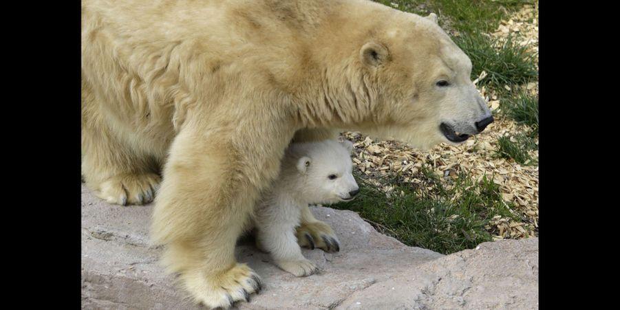 Hope, le petit ours du Marineland, et sa mère Flocke