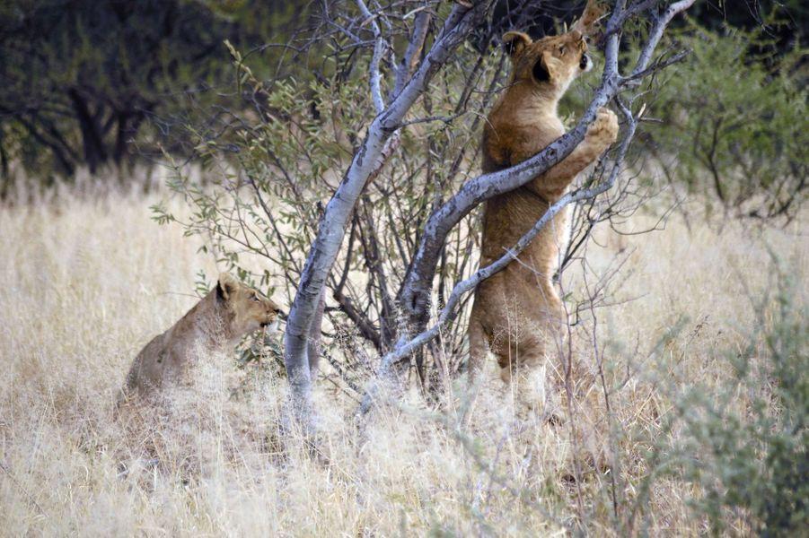La petite lionne coincée dans une branche