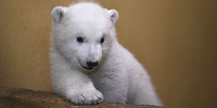La sieste du craquant ourson polaire du zoo de Brême