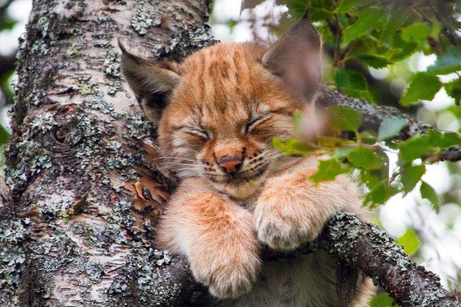 La sieste en altitude du petit lynx photographié au sein du sanctuaire pour animaux Langedrag, situé à Nesbyen en Norvège.