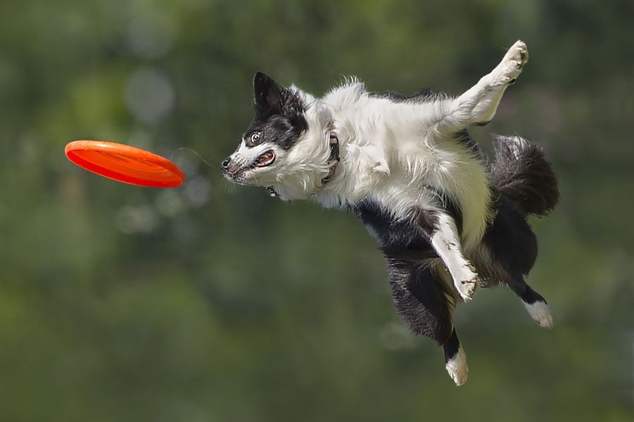 Le border collie champion de frisbee