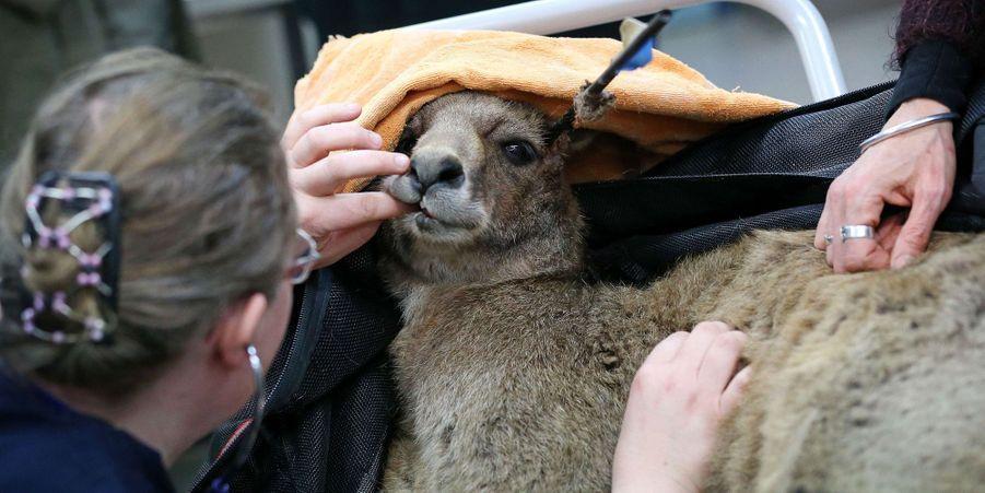Le kangourou miraculé d'une partie de chasse sauvage