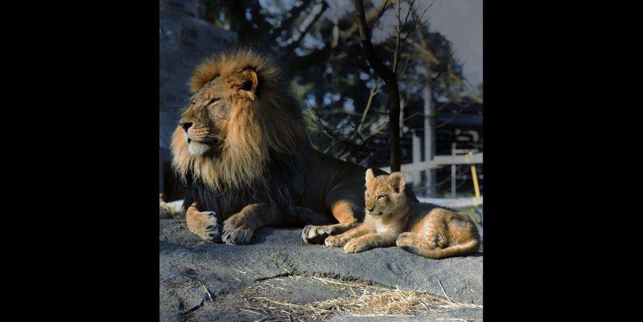 Partie de jeu pour ce lionceau