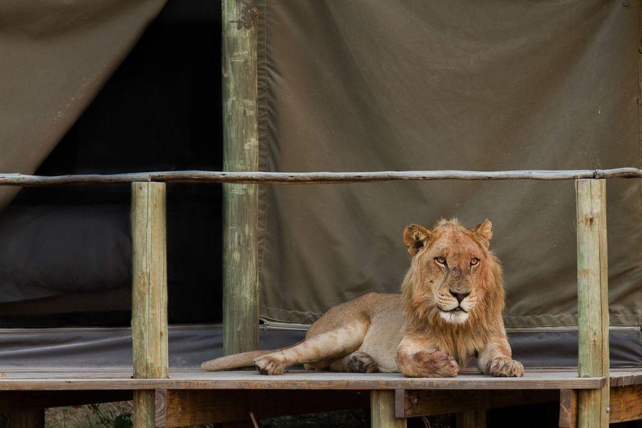 Le moment de détente des lions au Botswana