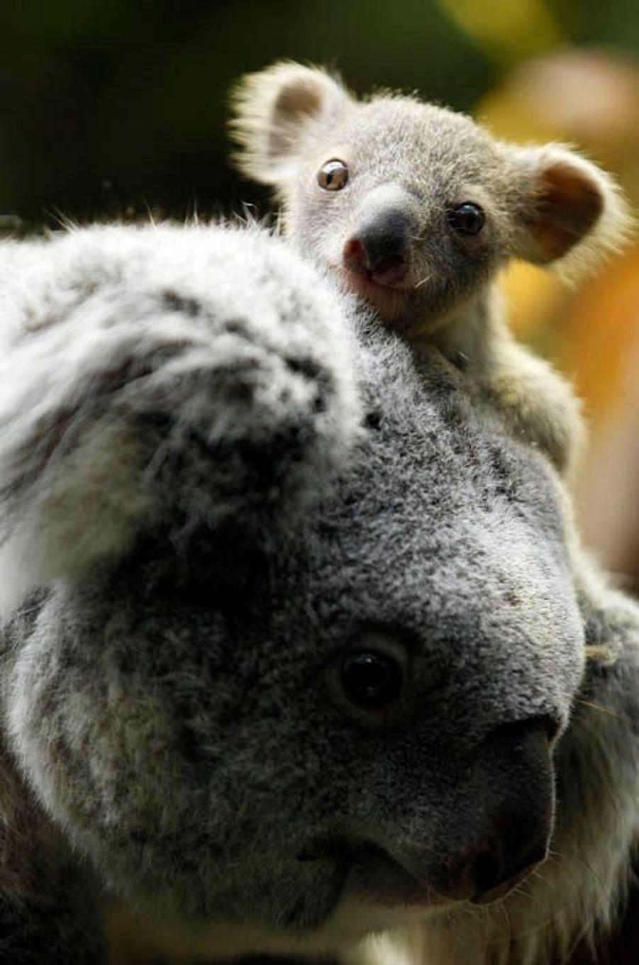 Un bébé Koala a vu le jour au zoo de Duisbourg, en Allemagne. Il pèse seulement 350 grammes.