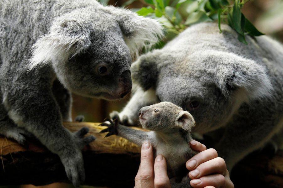 Un bébé Koala a vu le jour au zoo de Duisbourg, en Allemagne.