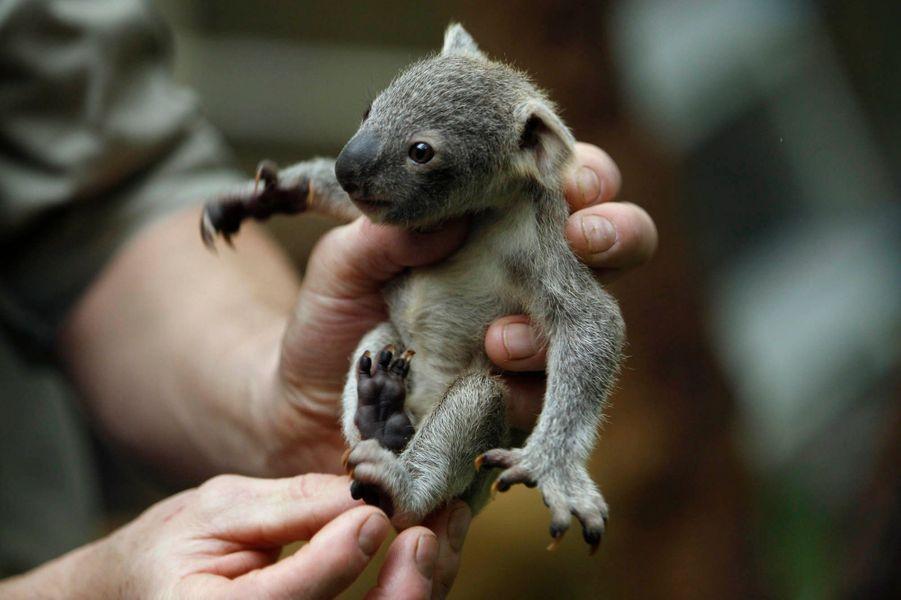 Un bébé Koala a vu le jour en Allemagne.