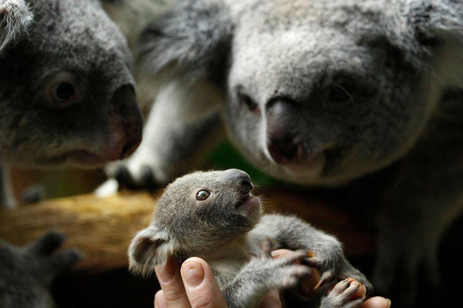 Un bébé Koala a vu le jour au zoo de Duisbourg.