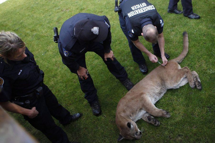 Un puma sauvage sème la panique dans un quartier résidentiel