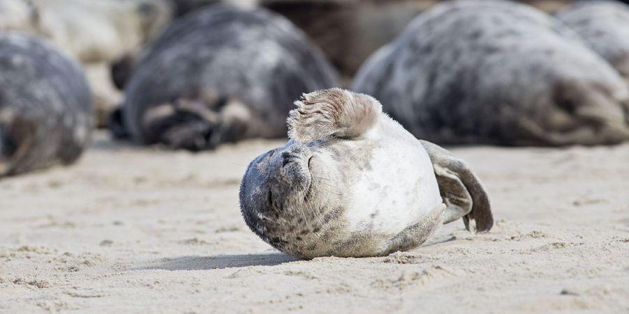 Sur Horsey Beach, les phoques profitent du soleil