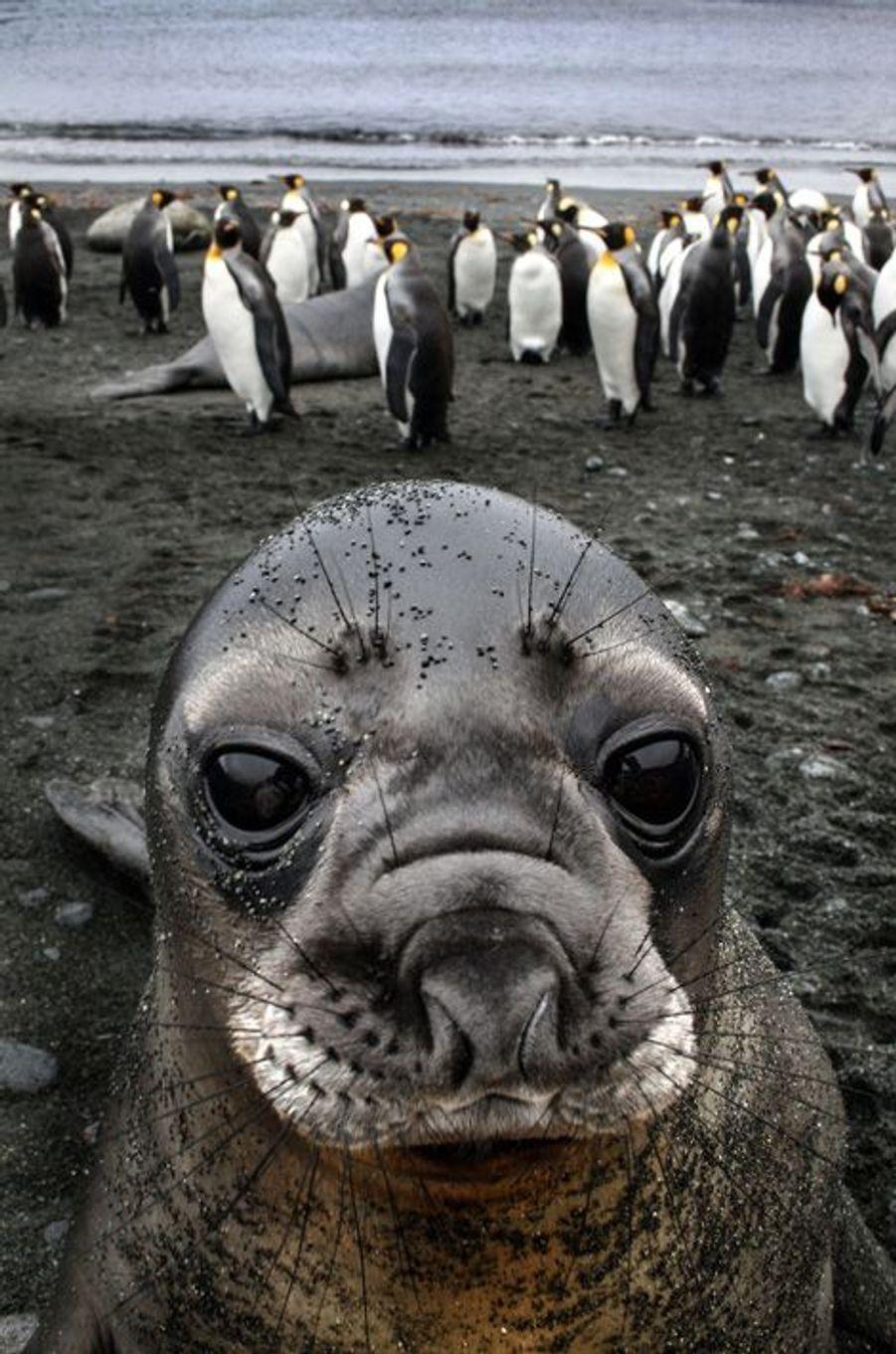 Le (presque) selfie du phoque sur l'île Macquarie