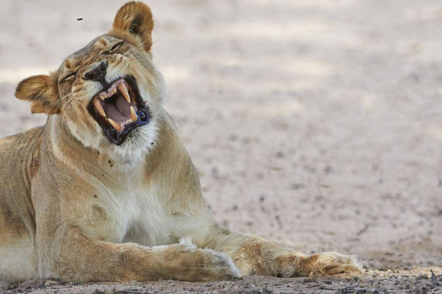 Les abeilles perturbent la sieste de la lionne, en Afrique du Sud