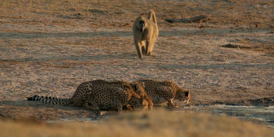 Les babouins font fuir les guépards