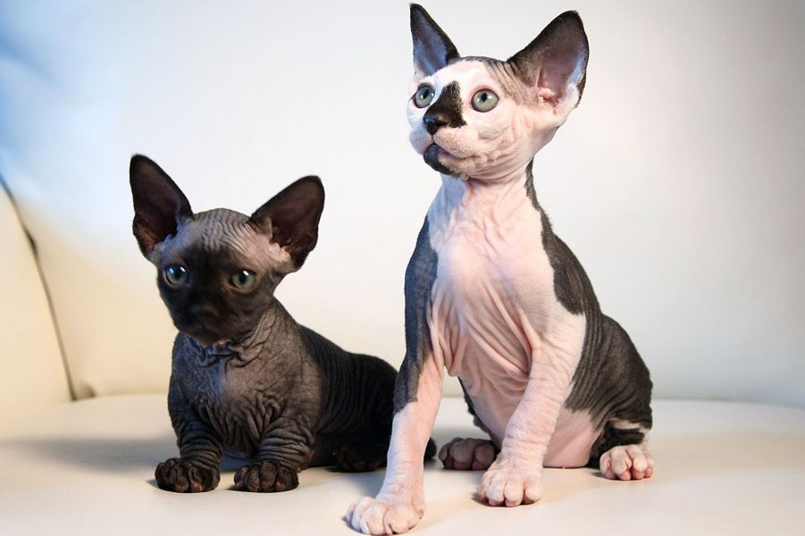 Les chats sans poil croisés