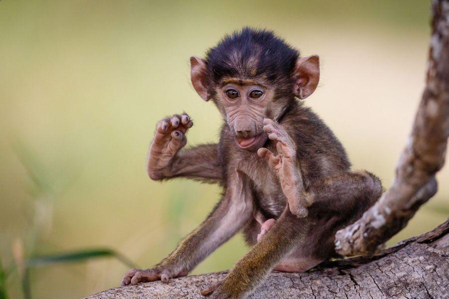 Les contorsions du bébé babouin en Tanzanie