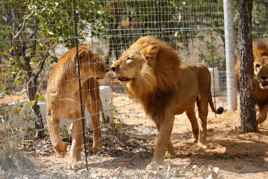 Les 33 lions sauvés par l'association au Pérou et en Colombie sont arrivés en Afrique du Sud, à l'Emoya Big Cat Sanctuary.