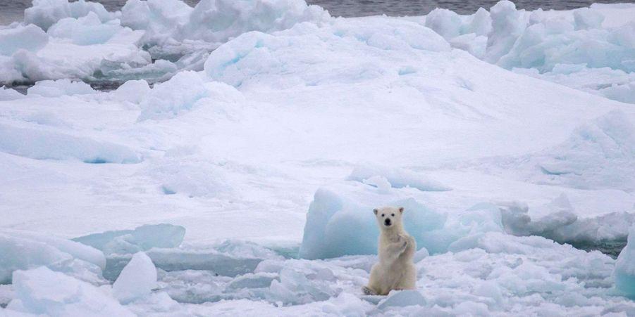 Les ours polaires, une espèce menacée