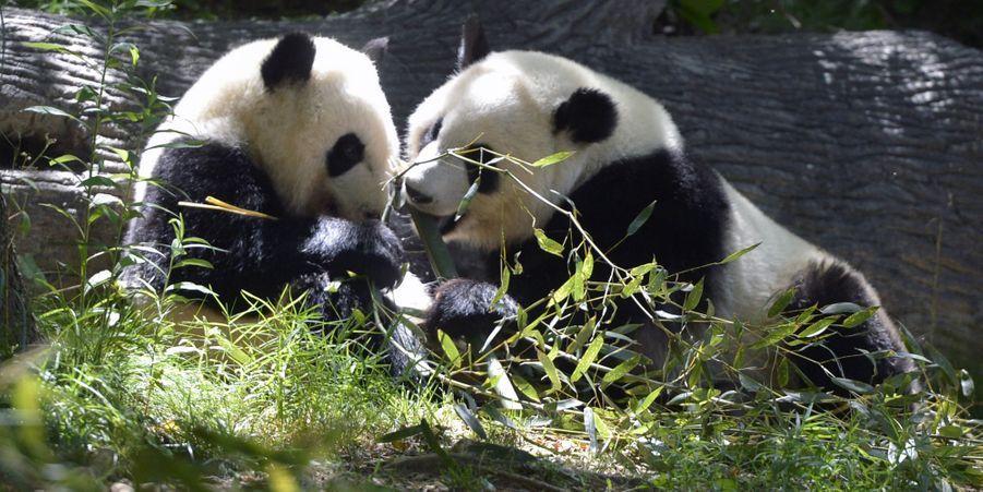 Mei Lun et Mei Huan, les pandas géants jumeaux, ont bien grandi