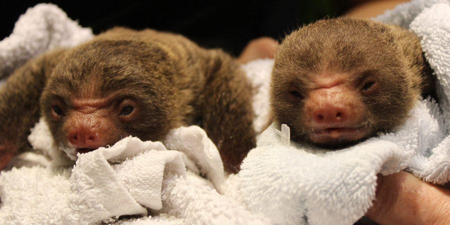 Les jumeaux paresseux sont nés au zoo de Stockholm