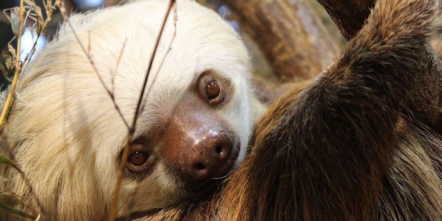 Lilian, la mère des jumeaux paresseux sont nés au zoo de Stockholm
