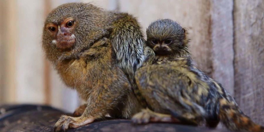 Les tout petits ouistitis pygmées sont de sortie au Symbio Wildlife Park